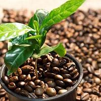 Kaffebønner med plante
